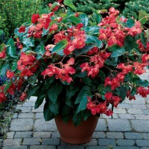 Dragon Wing Begonia Red poduct image 2
