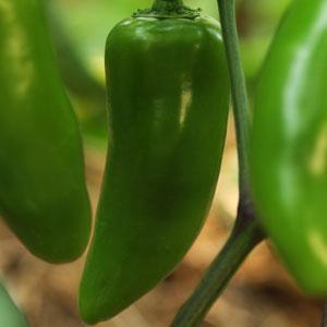 Pepper Jalapeno Gigante