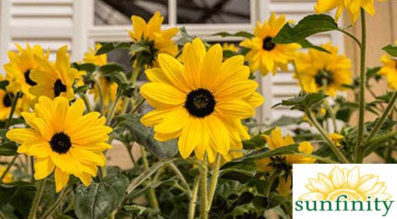 Sunfinity Sunflowers