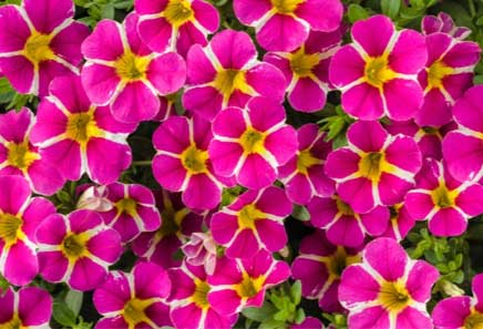 Superbells® Rising Star – Hybrid Calibrachoa
