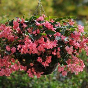 Pink Dragon Wing Begonia