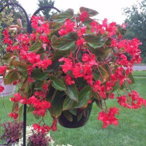 Red Dragon Wing Begonia