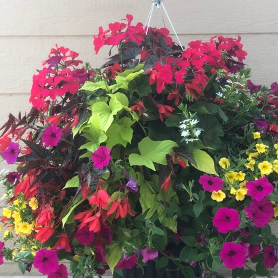 Large Hanging Baskets 2021